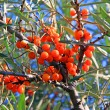 Sea-buckthorn berries — Stock Photo