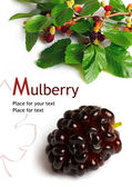 Mulberry (Morus) — Stock Photo