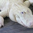 White Alligator — Stock Photo