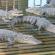 Alligators — Stock Photo