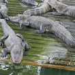 Alligators — Stock Photo #6069282