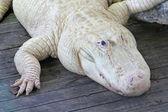 Vit alligator — Stockfoto