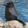 Seal Resting — Stock Photo