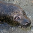 Stock Photo: Seal looking