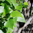 Leaves of a poplar — Stock Photo