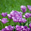 Beautiful pink tulips in garden — Stock Photo