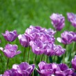 Beautiful pink tulips in garden — Stock Photo #5959689