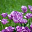 Beautiful pink tulips in garden — Stock Photo