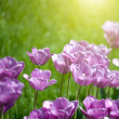Close up photo of pink tulips with sun beam - Foto de Stock