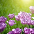 Stock Photo: Close up photo of pink tulips with sun beam