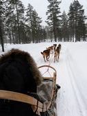Slitta husky — Foto Stock