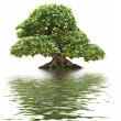 Ficus bonsai isolated - Stock Photo