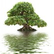 Stock Photo: Ficus bonsai isolated