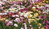 Dimorphotheca ecklonis flowers — Stock Photo