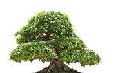 Ficus bonsai isolated — Stock Photo