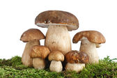 Boletus Edulis mushrooms — Stock Photo