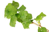 Spring branch of currant — Stock Photo