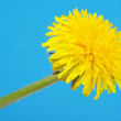 Stock Photo: Dandelions (taraxacum officinale)