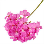 Pink flover — Stock Photo