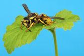Europeo vespa su foglia — Foto Stock