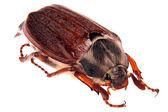 May bug — Stock Photo