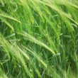 Green wheat field — Stock Photo #5533500