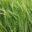 Green wheat field — Stock Photo #5533629