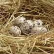 Five quail eggs in nest - Stockfoto