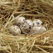 Five quail eggs in nest - Stock Photo