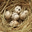 Five quail eggs in nest - Foto de Stock