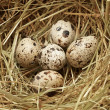 Five quail eggs in nest - 图库照片