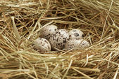 Five quail eggs in nest — Stock Photo