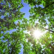 Green leaves of oak and sun — Stock Photo