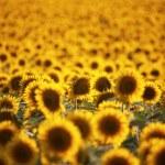 Field of flowers — Stock Photo