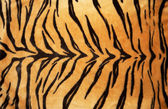 Tiger skin — Stock Photo