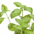 Close Up Basil Plant — Stock Photo