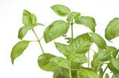 Close Up Basil Plant — Stock Photo