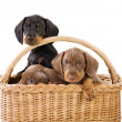Royalty-Free Stock Photo: Three puppies in basket