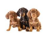 Three puppies of badger-dog — Stock Photo