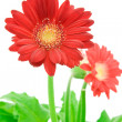 Red gerbera flower. — Stock Photo