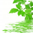 Green plant with water reflection. — Stock Photo
