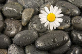 Stones and white daisy flower. — Foto Stock