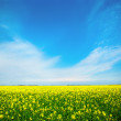 Yellow field rapeseed in bloom with blue sky and white clouds — Stock Photo #5662565