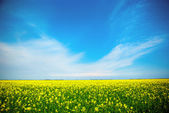 Yellow field rapeseed in bloom with blue sky and white clouds — Stock Photo