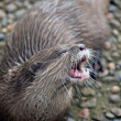 Wild Otters — Stockfoto