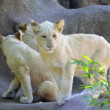 White Lion Cubs — Stock Photo