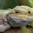 Lizards — Stock Photo