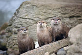 Wild Otters near the riverside — Stock Photo