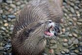 Wild Otters — Stock Photo