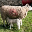 Young Baby Lamb — Stock Photo